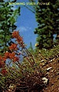 Indian Paint Brush - Misc, Wyoming WY Postcard