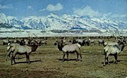 Grand Jackson Hole Elk Herd - Wyoming WY Postcard