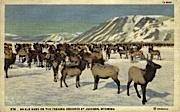 An Elk Herd - Jackson, Wyoming WY Postcard