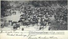 wes002238 - Herd of Cattle Western Cowboy, Cowgirl Postcard Postcards