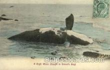 wha001012 - A right whale, Simon's bay Whales, Whaling Postcard, Post Card Old Vintage Antique