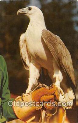 yan010008 - Ocala, FL, USA Solo, White Breasted Sea Eagle Postcard Post Card