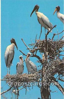 yan010048 - Everglades National Park, FL, USA Wood Ibis Rookery Postcard Post Card