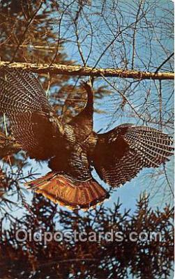 yan010094 - Color Photo by Richard C Miller Wild Turkey Postcard Post Card