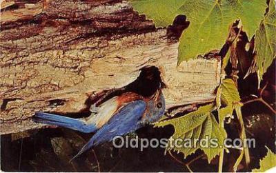 yan010099 - Bluebird Sialia Sialis Postcard Post Card