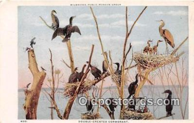 yan010106 - Milwaukee Public Museum Group Double Crested Cormorant Postcard Post Card