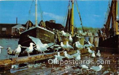 yan010148 - New England Coast Gulls Feasting on Fish Scraps Postcard Post Card