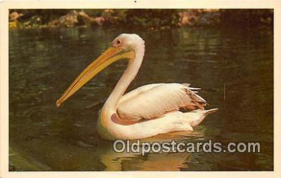 yan010149 - Los Angeles, CA, USA Pelican Pete Postcard Post Card