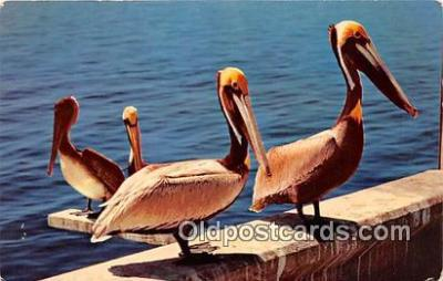 yan010151 - Louisiana, USA Pelicans Postcard Post Card