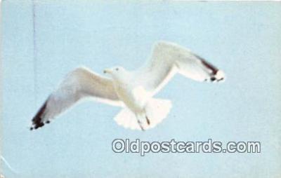 yan010152 - Maine, USA Maine Sea Gull Postcard Post Card