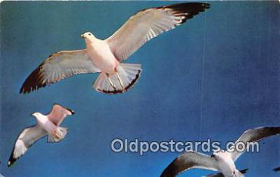 yan010158 - Seagulls Postcard Post Card