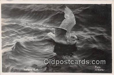 yan010160 - Iceland Gull Postcard Post Card