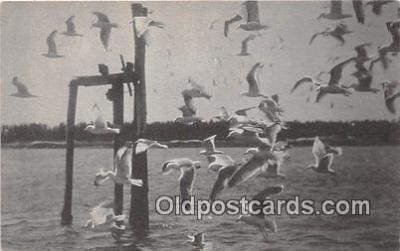 yan010162 - Sea Gulls Postcard Post Card
