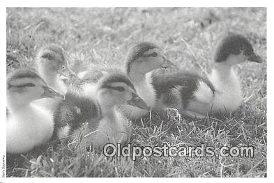 yan010175 - Monticello, NY, USA Gras  Duck Postcard Post Card