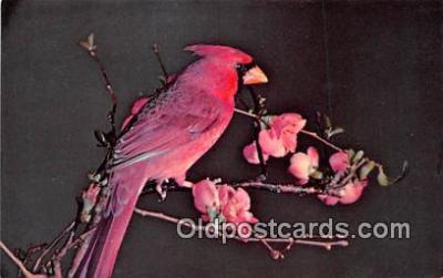 yan010186 - Ithaca, NY, USA Cardinal Postcard Post Card