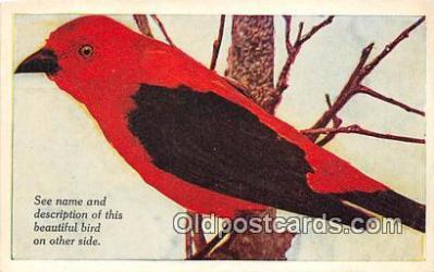 yan010193 - Central & South America Scarlet Tanager Postcard Post Card