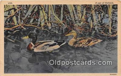 yan010219 - Pair of Mallards Postcard Post Card