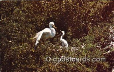yan010230 - Stinson Beach, CA, USA Great Egret Postcard Post Card