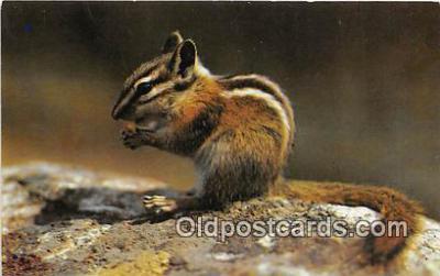 yan020001 - Chipmunk Postcard Post Card