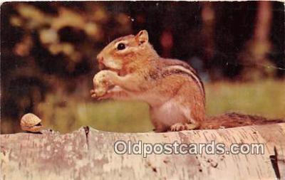 yan020003 - Color Photo by JC Parrish Busy Little Chipmunk Postcard Post Card
