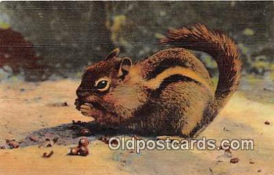 yan020005 - Chipmunk Postcard Post Card