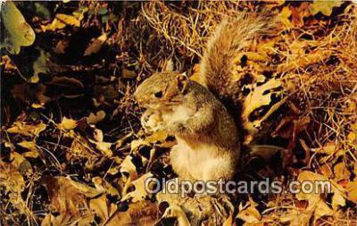 yan020009 - Adirondack Mountains, NY, USA Squirrel Postcard Post Card
