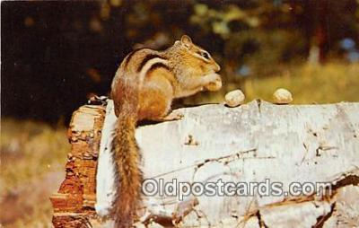 yan020011 - Chipmunk Postcard Post Card