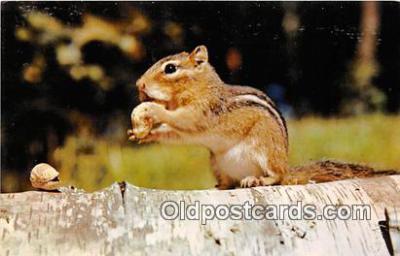 yan020014 - Busy Little Chipmunk Postcard Post Card