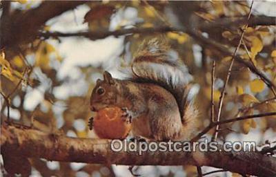 yan020015 - Squirrel Postcard Post Card
