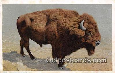 yan030003 - Buffalo Bull Postcard Post Card
