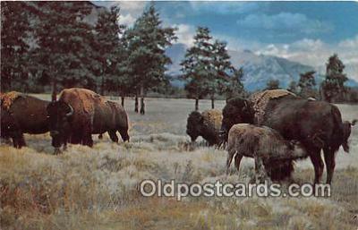 yan030014 - Custer State Park Buffalo Postcard Post Card