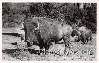 yan030018 - Redding, CA, USA Buffalo Ranch Postcard Post Card