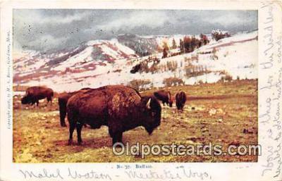 yan030020 - Buffalo Postcard Post Card
