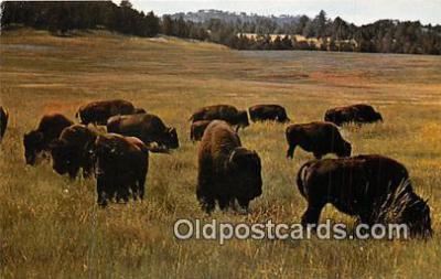 yan030021 - Nebraska, USA Thousands of Buffaloes Postcard Post Card