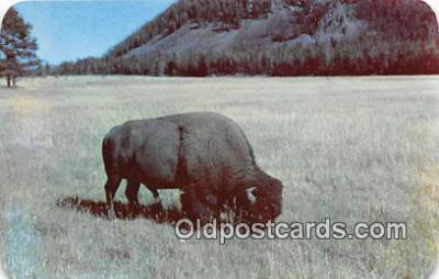 yan030025 - Bull Buffalo Postcard Post Card