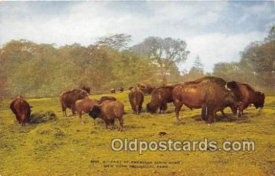 yan030026 - New York Zoological Park, USA American Bison Herd Postcard Post Card