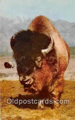 yan030034 - Buffalo Postcard Post Card