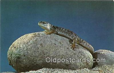 yan040007 - Color Photo by Louis & Virginia Kay Lizards Postcard Post Card