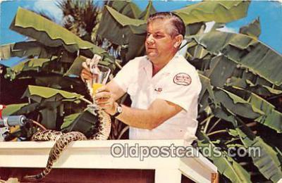 yan040011 - Ross Allen Diamond Back Rattlesnake Postcard Post Card