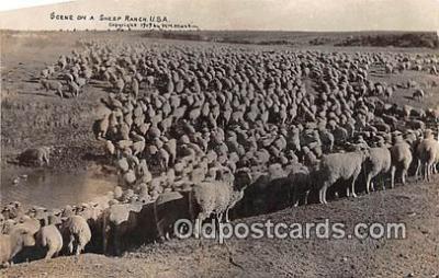 yan050017 - USA Sheep Ranch Postcard Post Card