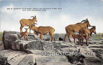 yan050032 - New York Zoological Park, USA Barbary Wild Sheep Family Postcard Post Card