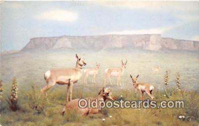 yan060002 - American Antelope Postcard Post Card