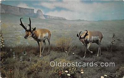 yan060006 - American Antelope Postcard Post Card
