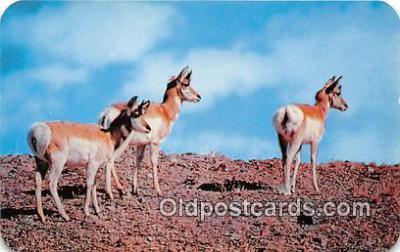 yan060017 - Wyoming, USA Antelope Postcard Post Card