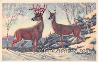 yan060033 - Whitetail Deer, Buck & Doe Postcard Post Card