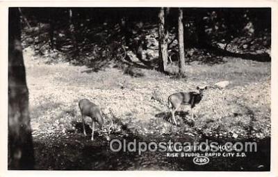 yan060035 - Rapid City, SD, USA Wild Deer Real Photo Postcard Post Card