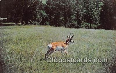 yan060041 - Black Hills, SD, USA Antelope, Wind Cave National Park Postcard Post Card