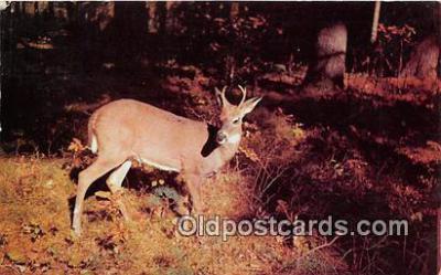 yan060047 - Adirondack Mountains, NY, USA Crotch Horn buck Postcard Post Card