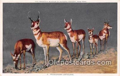 yan060057 - American Museum of Natural History, NY, USA Pronghorn Antelope Postcard Post Card