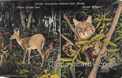 yan060061 - Everglades National Park, FL, USA Native Florida Deer Postcard Post Card